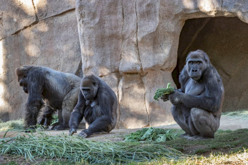 Gorillaer smittet med corona